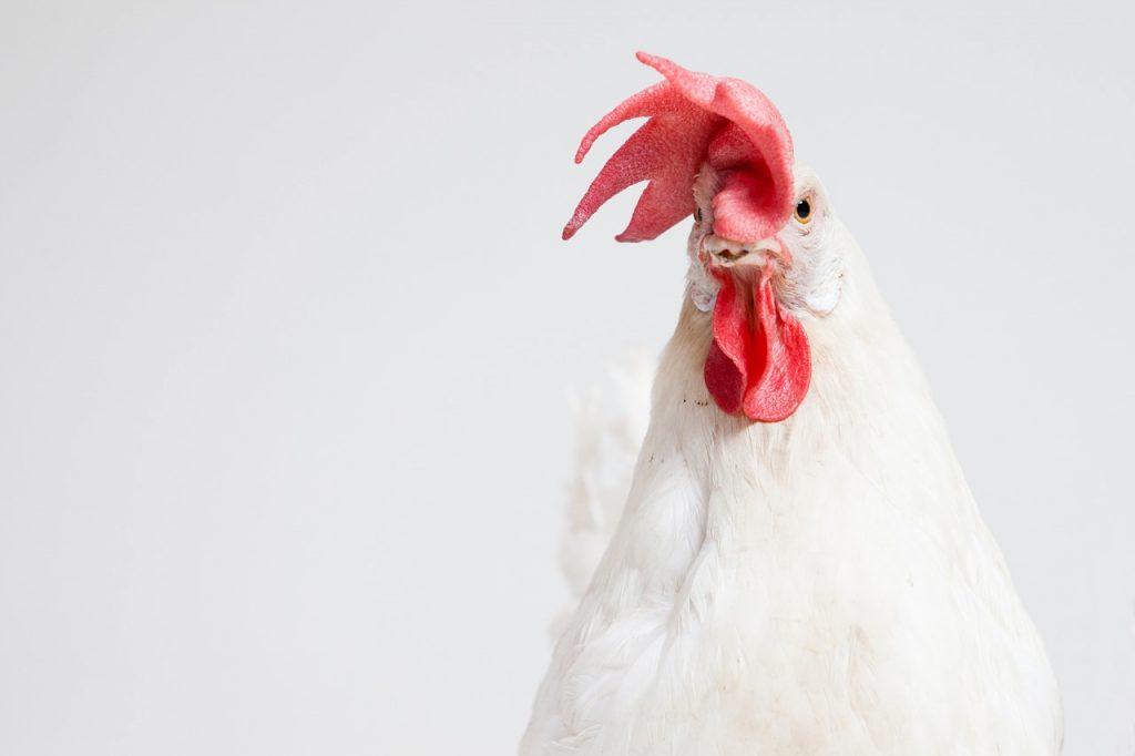 Né l'uovo né la gallina: è nato prima il gallo bisessuale